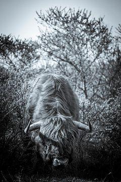 Schottischer Highlander in den Wäldern von Sander van Driel