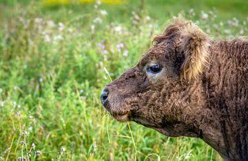 Portret van een Galloway stier van Ruud Morijn