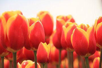 Tulpen uit Amsterdam. Tulips from Amsterdam van Marcel van Rijn
