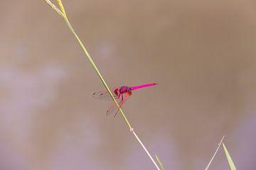 libelle in Laos  von Jill De Neef