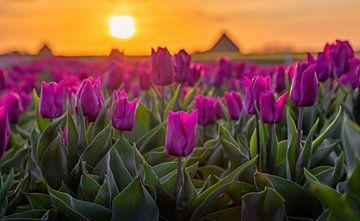 Tulpen op Texel tijdens zonsopkomst. van Justin Sinner Pictures ( Fotograaf op Texel)