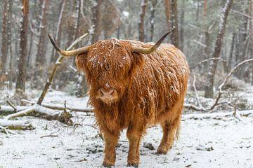 Porträt einer schottischen Highlander-Kuh im Schnee von Sjoerd van der Wal