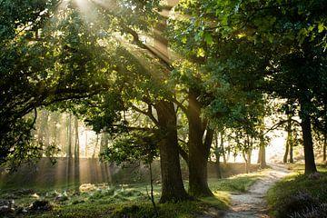Sonnenstrahlen durch Bäume Wald magische goldene Natur von Dorota Talady