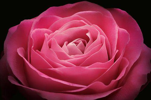 Roze roos  van