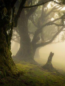 Forest Fanal met de mooie Laurisilva bomen op het eiland Madeira