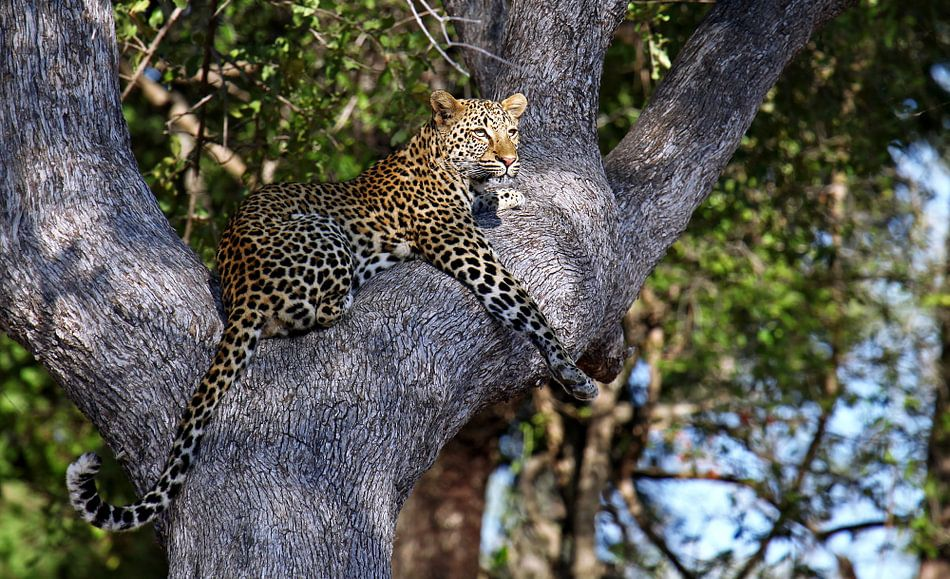 Leopard in the tree - Africa wildlife van W. Woyke