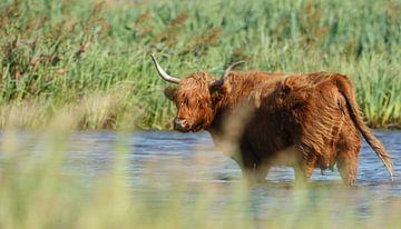 Schotse hooglander heeft het warm
