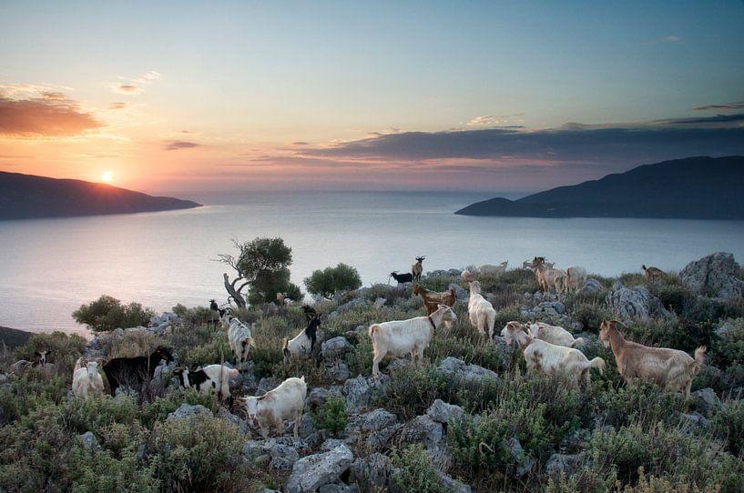 Morning goats van Peter Bijsterveld