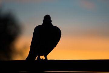 Duif tegen ondergaande zon #2 van Johan Dingemanse
