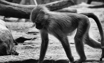 Jonge baviaan van