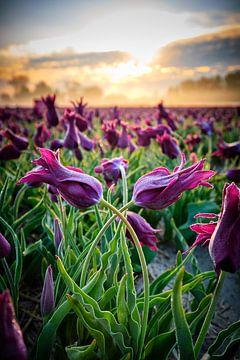 Des tulipes avec un beau ciel au lever du soleil