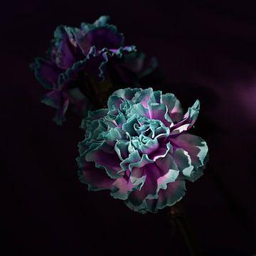 'Carnations'