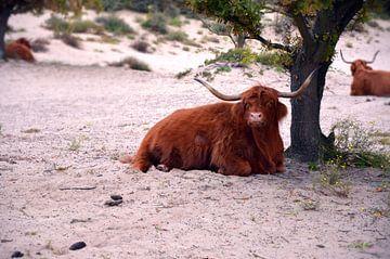Schotse hooglander in de natuur van