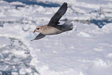 Stormvogel op Spitsbergen van Merijn Loch