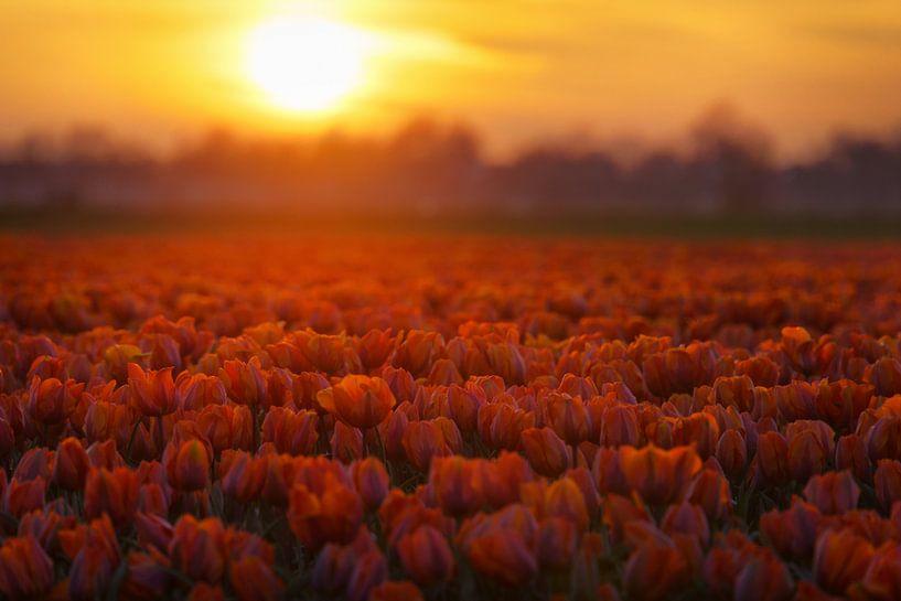 Golden Tulips van Martin Podt