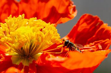Zweefvliegje op een rode klaproos van Annika Westgeest Photography