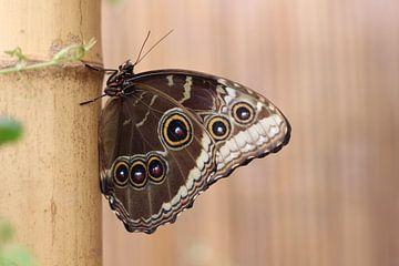 Vlinder van Tineke Mols