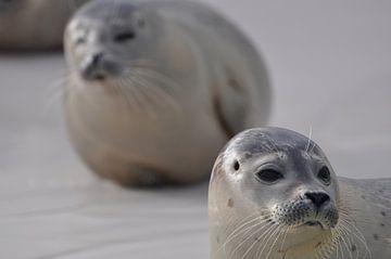 Twee zeehonden op Texel van