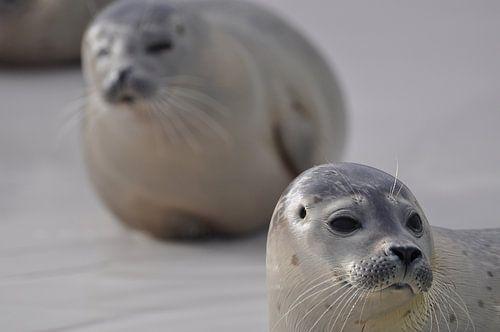 Twee zeehonden op Texel van Stefan Hage