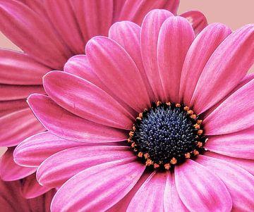 Roze bloem van Gonnie van Hove