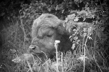 Junges schottisches Kalb im Gebüsch von Tina Linssen