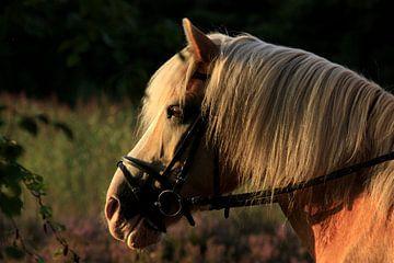 paard geniet van zonsondergang van nikita van der Starre- Zagers