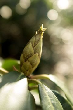Makrofoto des Rhododendrons, botanisches Foto von Karijn | Fine art Natuur en Reis Fotografie