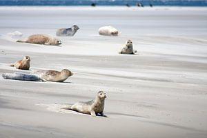 Zandbank met zeehonden op het wad