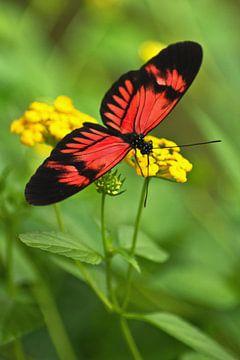 Schmetterling auf gelber Blüte von Anja B. Schäfer