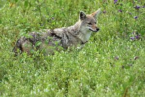 Wolf on the lookout van Menno Selles