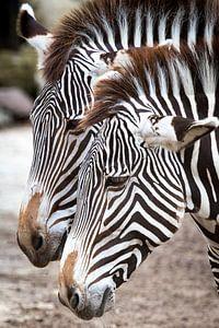 Zebra's van Victor van Dijk