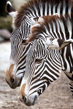 Zebra's sur Victor van Dijk