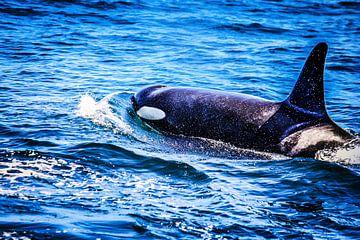Orca in de stille oceaan von Ineke Huizing