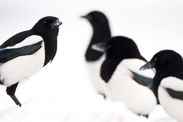 Eksters in de winter van AGAMI Photo Agency