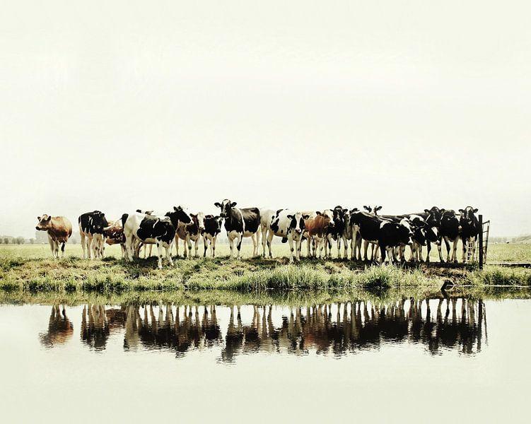 koeien op een rijtje