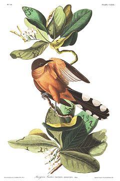 Mangrove-Koekoek van