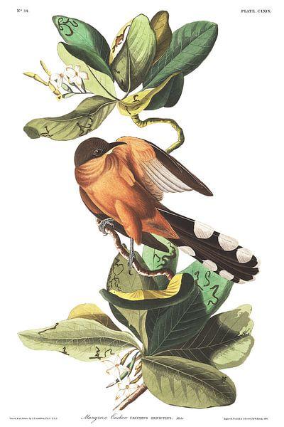 Mangrove-Koekoek van Birds of America