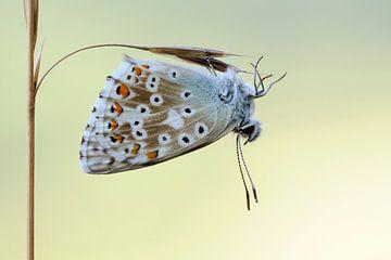filigran... Silbergrüner Blaeuling *Polyommatus coridon* von wunderbare Erde