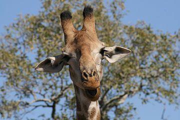 Giraffe in Krugerpark Zuid Afrika van Sandra van Vugt