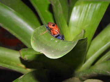 Blauwbroek kikkertje Costa Rica von Daniëlle van der meule