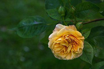 Gelbe Rose mit Knospen von Anja B. Schäfer