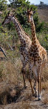 2 Giraffen van Arthur van Iterson