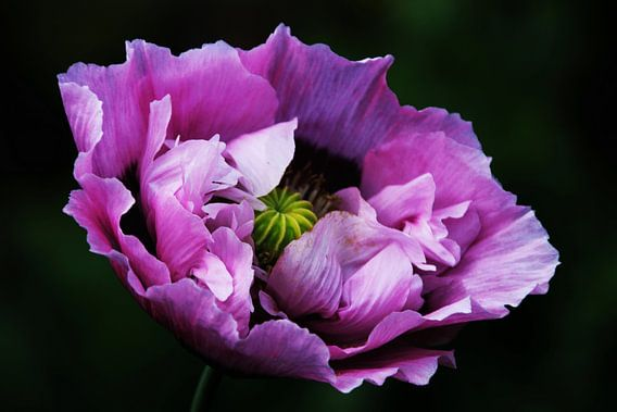 purple poppy van Yvonne Blokland