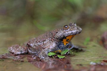 Yellow-bellied Toad ( Bombina variegata ) van wunderbare Erde