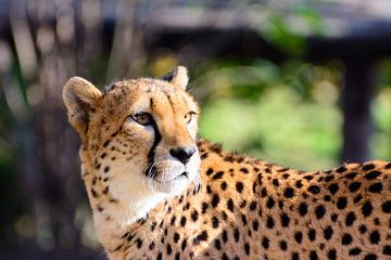 Majestätischer Gepard van Philipp Stelzel