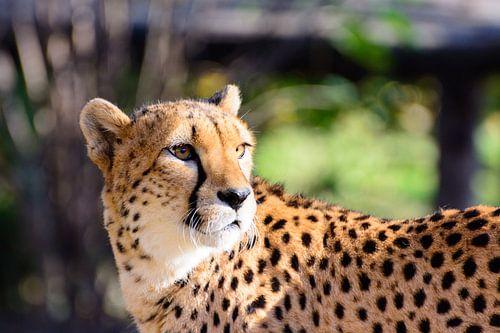 Majestätischer Gepard