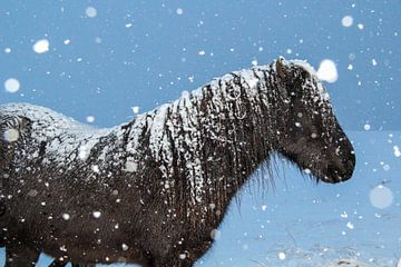 IJslander in de sneeuw von Marie-Christine Alsemgeest-Zuiderent
