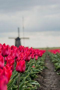Rote Tulpen von Stephan Scheffer