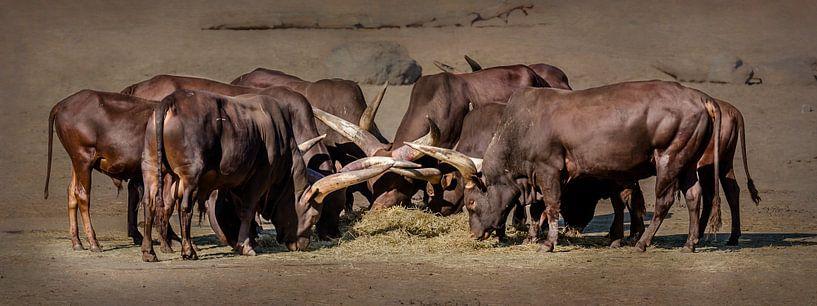 Troupeau de bovins d'eau (panorama) sur Fotografie Jeronimo