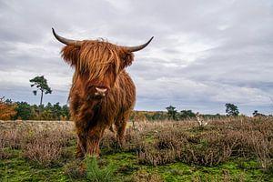 Woeste Schotse Hooglander van